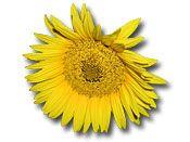 Sonnenblume ganz